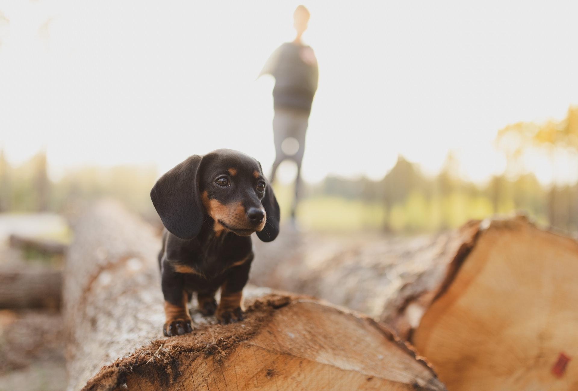 teckel puppy op een boomstam met achter hem zijn baasje