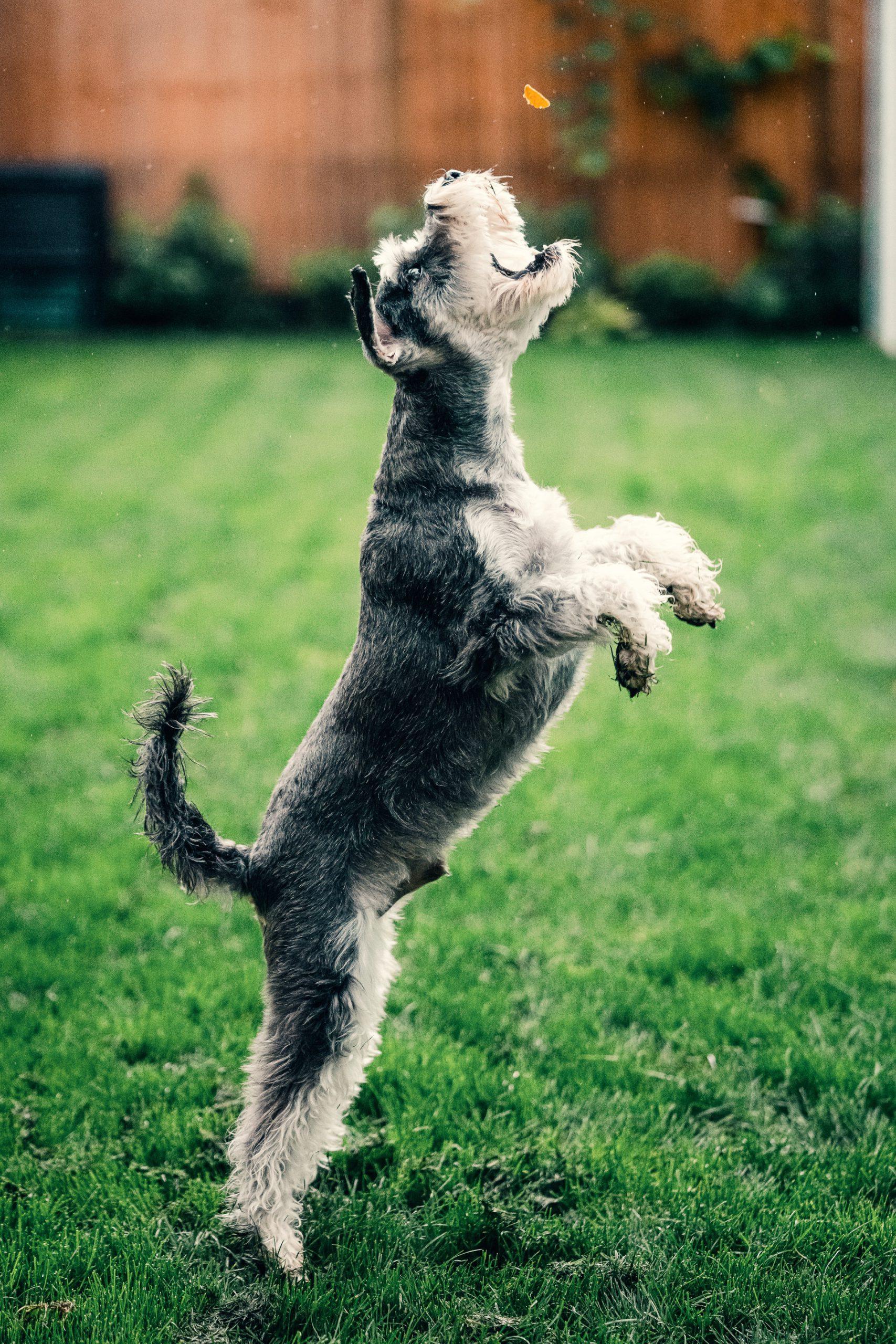 hond springt op en probeert hondenkoekje te vangen